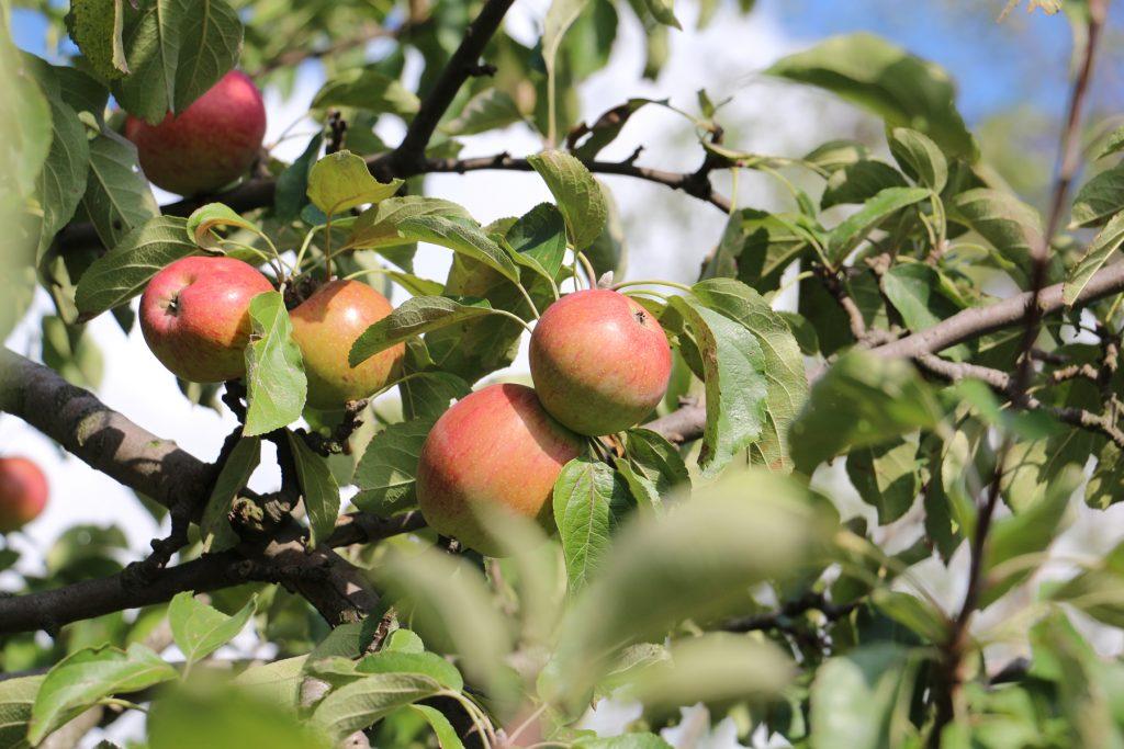 Apfel auf Streuobstwiese