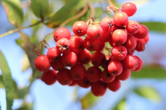Eberesche Fruchtikör