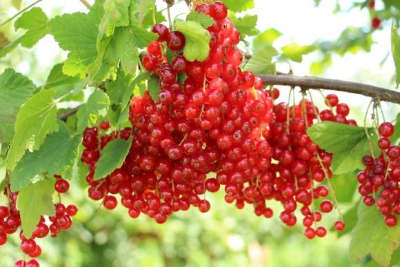 Rote Johannisbeere