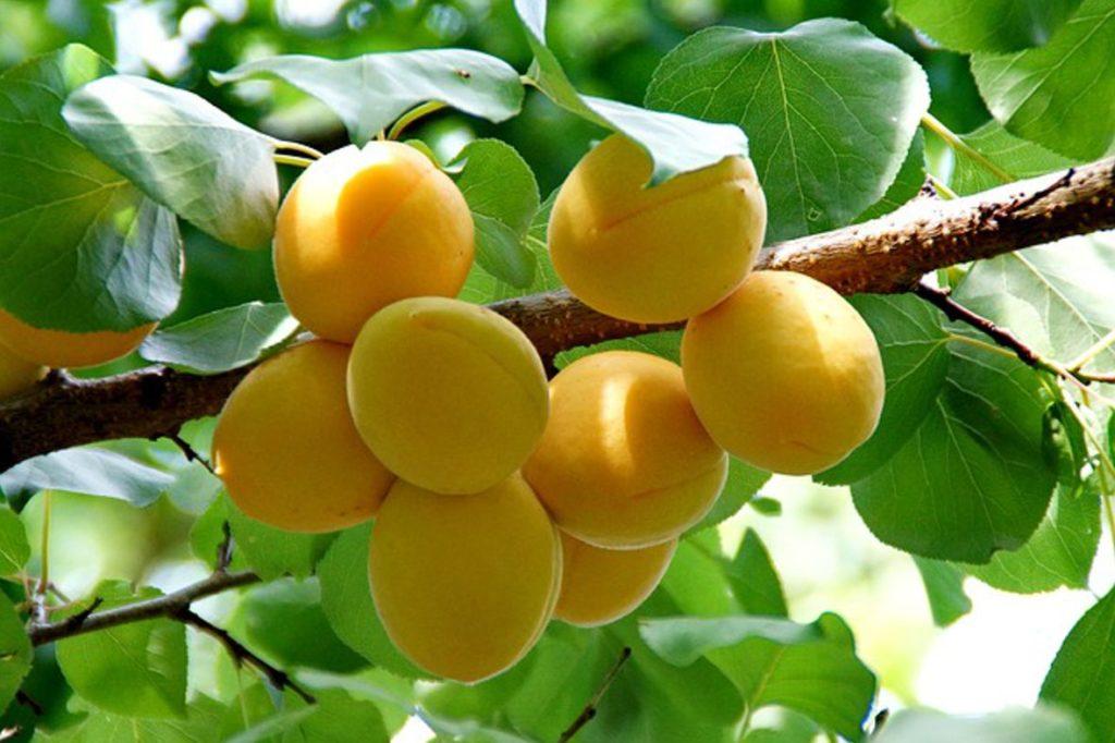 Aprikosen für sächsischen Aprikosenlikör