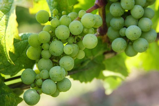 Weintrauben für sächsischen Weinbrand